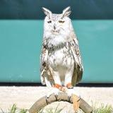 Siberian eagle owl or bubo bubo sibiricus. Siberian eagle owl, or bubo bubo sibiricus, perched on an innkeeper Stock Image