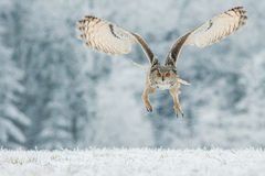 Siberian Eagle Owl Stock Images