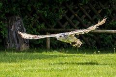 Siberian eagle owl, bubo bubo sibiricus. The biggest owl in the world. The Siberian eagle owl, bubo bubo sibiricus is the biggest owl in the world royalty free stock image