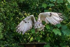 Siberian eagle owl, bubo bubo sibiricus. The biggest owl in the world. The Siberian eagle owl, bubo bubo sibiricus is the biggest owl in the world stock photo