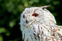 Siberian eagle owl, bubo bubo sibiricus. The biggest owl in the world stock image