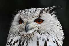 Siberian eagle owl, bubo bubo sibiricus. The biggest owl in the world. The Siberian eagle owl, bubo bubo sibiricus is the biggest owl in the world royalty free stock photography