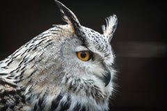 Siberian eagle owl Bubo bubo sibiricus. Close portrait of Siberian eagle owl Bubo bubo sibiricus royalty free stock photo