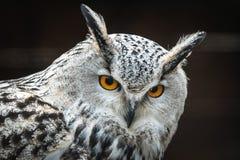 Siberian eagle owl Bubo bubo sibiricus. Close portrait of Siberian eagle owl Bubo bubo sibiricus royalty free stock image