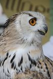 Siberian eagle owl - Bubo bubo sibiricus. Portrait of a young specimen of Siberian eagle owl - Bubo bubo sibiricus royalty free stock photos