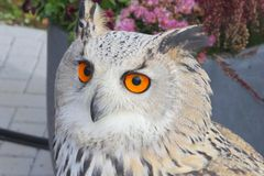 Siberian Eagle owl in close up Royalty Free Stock Photo