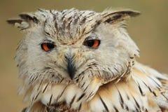 Siberian eagle owl Stock Photos