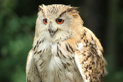 Siberian eagle owl. The detail of siberian eagle owl with the open bill royalty free stock photos
