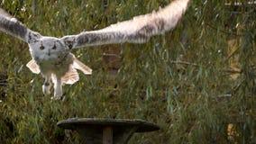 Siberian eagle owl taking off