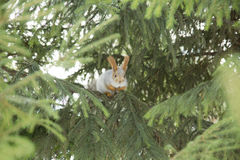 Siberian ekorre på en filial Royaltyfri Fotografi