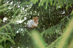 Siberian ekorre på trädet Arkivbilder