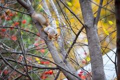 Siberian ekorre på trädet med bröd i hans mun arkivfoton