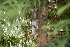 Siberian ekorre som är uppochnervänd på stammen Royaltyfri Fotografi