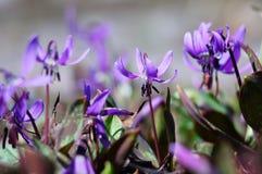Siberian fawn lily (erythronium sibiricum). Beautiful perennial bright wildflower sunny spring portrait Stock Image