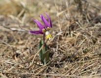 Siberian Fawn Lily i livsmiljön som avslöjs med pollen Arkivfoton