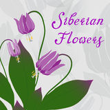 Siberian fawn lily vector illustration Stock Images
