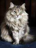 Siberian female cat Royalty Free Stock Photo