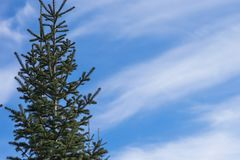 Siberian fir on the left, against the background of the sky with space for text. Siberian fir Latin Abies sibírica is a coniferous tree, the most common Royalty Free Stock Photos