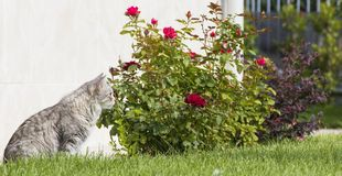 Long haired cat looking in the garden, grey kitten female siberian Royalty Free Stock Image