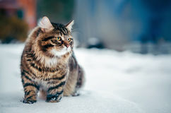 Siberian fluffy cat. In the snow Stock Images