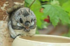 Siberian flying squirrel stock image