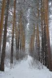 Siberian forest. Frost on the trees in Siberian forest,Tomsk, Russia Royalty Free Stock Image