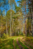 Siberian forest in Autumn, Siberia, Russia Royalty Free Stock Photography