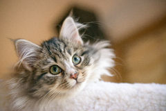 Siberian Forest Cat Kitten. A young Siberian Forest Cat views the world from aloft Royalty Free Stock Photo