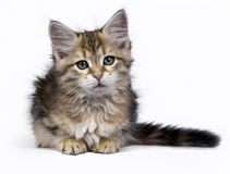 Siberian Forest cat / kittens isolated on white background laying and looking to the side Stock Photo