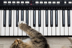Siberian Forest Cat playing MIDI controller keyboard synthesizer Royalty Free Stock Images