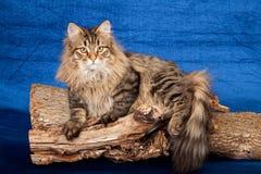 Siberian Forest kitten Royalty Free Stock Photos