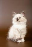 Siberian forest kitten Stock Photography