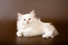 Siberian forest kitten Royalty Free Stock Image