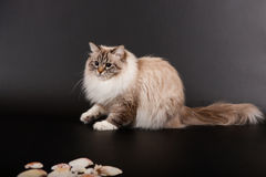 Siberian forest kitten Stock Photos