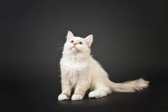 Siberian forest kitten on black background Royalty Free Stock Image