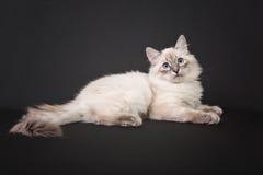 Siberian forest kitten on black background Stock Photo