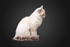 Siberian forest kitten on black background Stock Photos