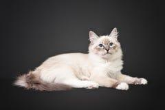Siberian forest kitten on black background Stock Photography