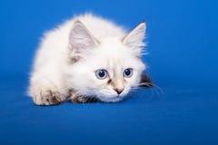 Siberian forest kitten Royalty Free Stock Photo