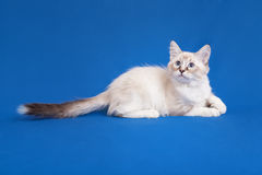 Siberian forest kitten Royalty Free Stock Image