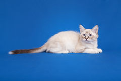 Siberian forest kitten Royalty Free Stock Photos