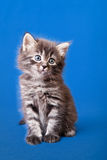 Siberian forest kitten Stock Images
