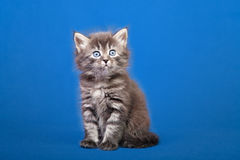 Siberian forest kitten Royalty Free Stock Images