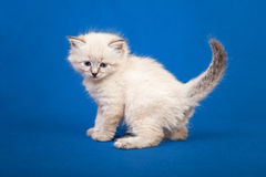 Siberian forest kitten Stock Photos