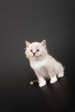Siberian forest kitten Royalty Free Stock Images