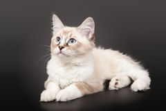 Siberian forest kitten Royalty Free Stock Photography