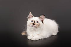 Siberian forest kitten Royalty Free Stock Photo