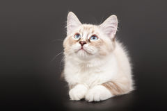Siberian forest kitten Stock Photography