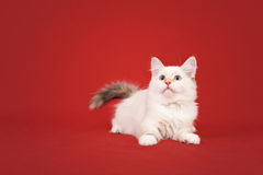 Siberian forest kitten on red background Royalty Free Stock Photography