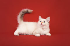 Siberian forest kitten on red background Royalty Free Stock Image